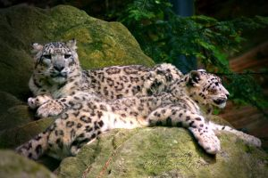 Snow leopards by witchi-photos