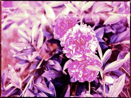 Cross Processed Peonies by ACBusse