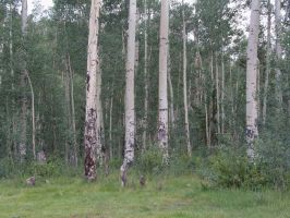 Aspen Forest by ReflectiveCreations