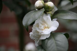 whit camellia with buds by ingeline-art