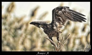 golden- eagle by AMROU-A