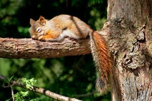 Squirrel napping by MichelLalonde