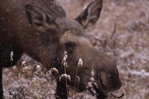 lunch moose 03 by JWFisher