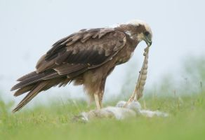 It takes guts to do what I do - Marsh Harrier by Jamie-MacArthur