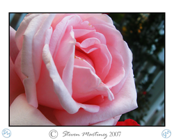 Rose Pink by steven-psd