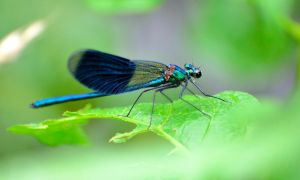 Banded Demoiselle by Hepiefull