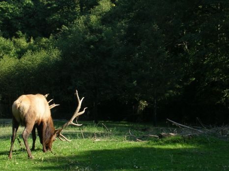 The Great Elk by A-Light-in-the-Dark