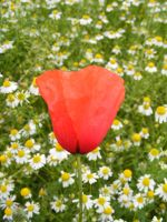 Poppy by Lengels-Stock