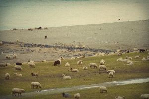 Sheep 2 by ButteredCats