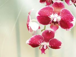 Le orchidee by cridefea