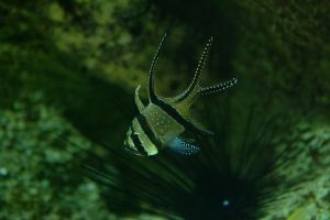 Bangii Cardinal Fish by gerald-the-mouse3