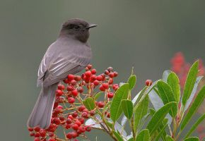 black phoebe by BELOST