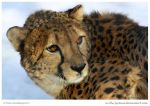 Cool Cheetah by In-the-picture