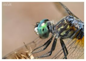 Dragonfly Close-up by Eccoton