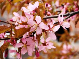 Cherry blossom by PurpleScarecrow