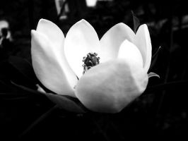 Steel Magnolias by eevans3