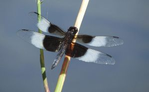 Dragonfly at Rest by curiouscarrie