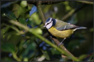 Blue Tit by cycoze