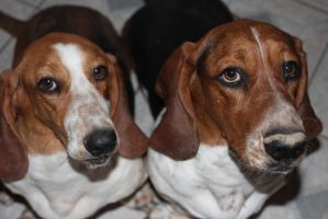 My Basset Hounds: Marta and Benjamin by Sweetgirl333