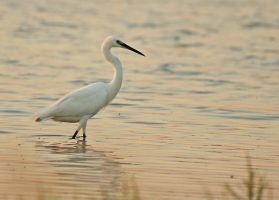 Ardea alba 4 by thisable