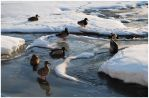 Ducks on a Frozen River 2 by almightyblah