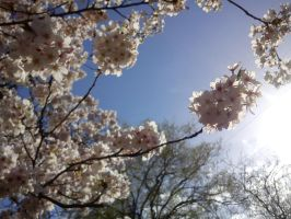 Cherry Blossoms in the Sun by TenkouPhotography