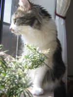 fluffy cat profile 02 by CotyStock