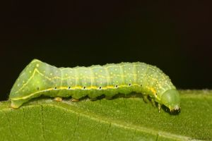 First Caterpillar of 2015 by natureguy