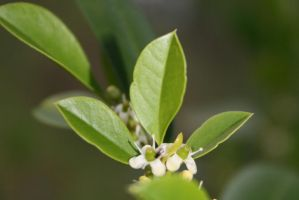Green leaves tiny white buds by elf-fu-stock