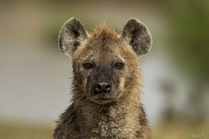 Hyena Portrait by DaSchu