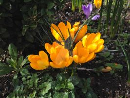 Butter Yellow Crocus by Bwabbit