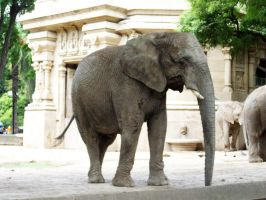 Elephant 2 by Etereas-stock