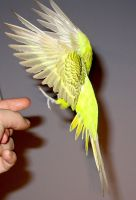 Budgie in flight 12 by greencheek