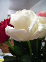 white rose 7 by turtledove-stock