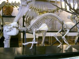hyrax skeleton by cyborgsuzystock