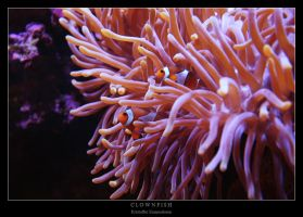 Clownfish by Krycke