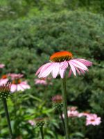 Cone Flower by 4Meezy4