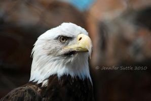 Bald Eagle by jayshree