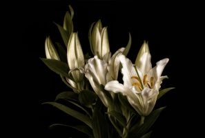 Oriental Lily by AndersStangl