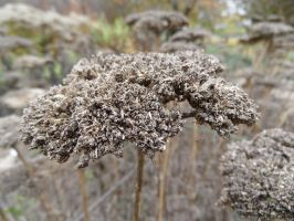 Autumn impressions: Yarrow seeds by Paul774