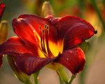 Red Day Lily by texasghost