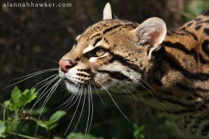 Ocelot. by Alannah-Hawker