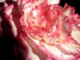 Pink Carnation 6 by KCarey