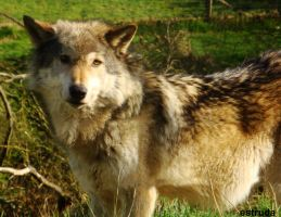 A Beautifull wolf by Estruda