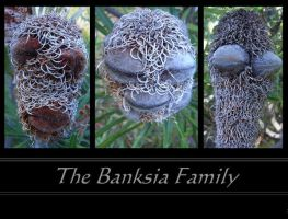 The Banksia Family by SunOwl