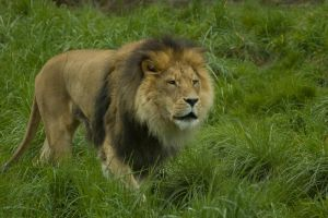 Lion Walking Through Grass by happeningstock