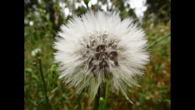 Dandelion 2 (HD Wallpaper) by Pimpernel