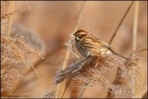 Female Reed Bunting. by andy-j-s