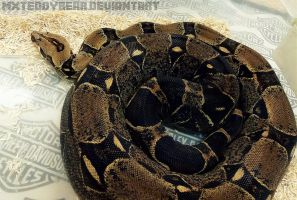Big Arse Boa by MxTeddybear
