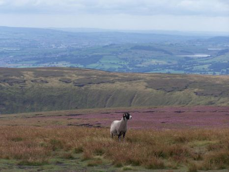 Sheep on Pendle Hill by twistor